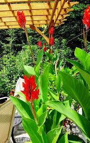 Canna Lily Canna Lily U2013you Can Grow That Joene U0027s Garden