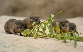 the daily cute rock hyrax