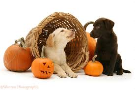 halloween lab dogs yellow and chocolate retriever pups at halloween photo wp14558