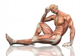 Human Body Muscles Images Anatomy Vectors Photos And Psd Files Free Download