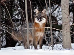 New Hampshire wild animals images New hampshire mammals wildlife journal junior jpg