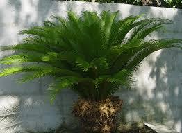139 best sago palm garden images on pinterest sago palm palm