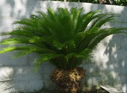 Palm Tree Outdoor Rug Best 25 Sago Palm Tree Ideas On Pinterest Sago Palm Sago Palm