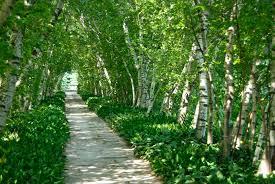 birch allee at stan hywet gardens arch allee pathways