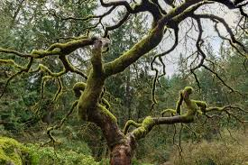 one of the more interesting trees that can be found picture of