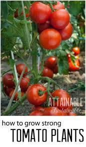 best 25 tomato vine ideas on pinterest water bath canning