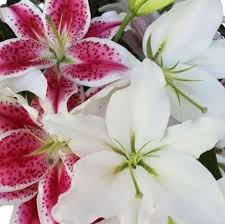 Oriental Lilies Oriental Lilies U2013 Easy To Grow Bulbs