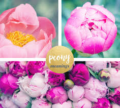peonies flowers peony meaning and symbolism ftd