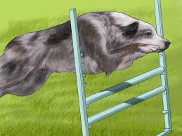 4 ways to care for an australian cattle dog wikihow