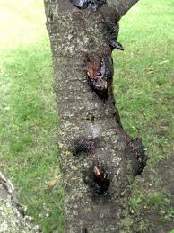 sticky situations on cherry trees horticulture and home pest news