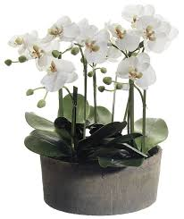 orchid arrangements phalaenopsis orchid floral arrangements in clay pot reviews