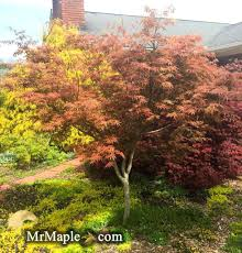 japanese maple trees tree meaning for sale uk