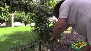 pruning fruit trees 2015 youtube