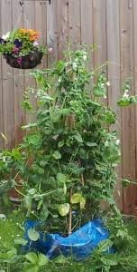 Container Gardening Peas - how to grow vegetables in containersgreenside up