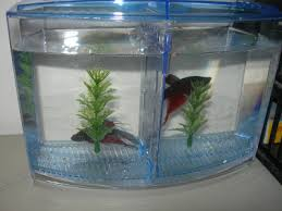 Beta Fish In Vase What Is The Life Span For A Beta Fish