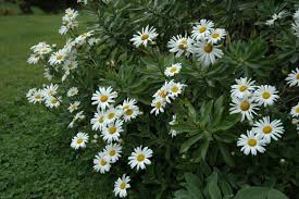when to prune native plants montauk daisy a garden for all