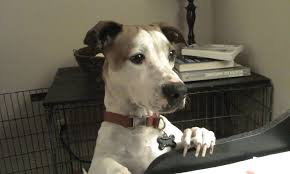 bluetick coonhound jack russell mix meet linus the jack russell terrier mix on pack