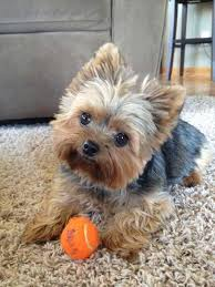 before and after yorkshire terriers short hair cut yorkie puppy cut what is a puppy cut yorkiemag
