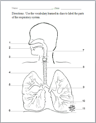 respiratory system worksheets respiratory system and
