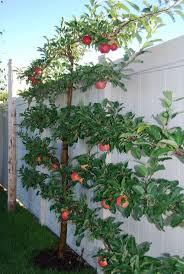 265 best espalier trees images on pinterest espalier fruit trees