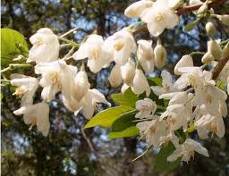 plants native to louisiana silverbells u2013 ornamental plant of the week for march 16 2015