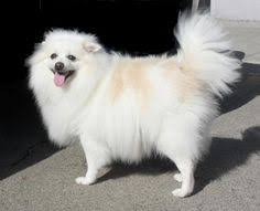 american eskimo dog new zealand free american eskimo puppies video meet female a cute american