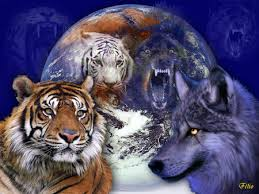 tiger w wolf desktop nexus wallpapers the packs tigers for my