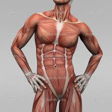 Human Male Anatomy Muscles In Male Body Human Anatomy Chart