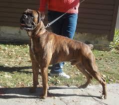 boxer dog european rumors of luv boxers rumors of luv thor