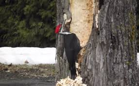 hilarious woodpecker attemps to cut the entire tree