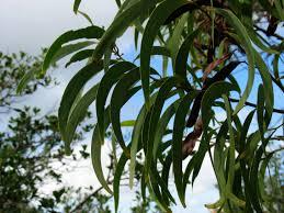 hawaiian native plants koa tree acacia koa tree endangeredhawaiianspecies