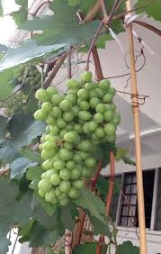 How To Grow Grapes In Your Backyard by S U0027pore U0027s High Rise Gardeners Are Growing Grapes Rock Melon