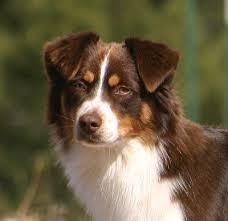australian shepherd 11 months heartbreakers