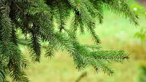 free photo spruce needle needles tree free image on pixabay