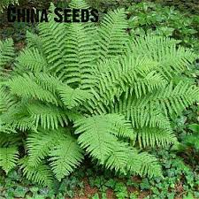 11 free shipping 100pcs japanese creeper boston fern