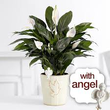 peace lily care guide
