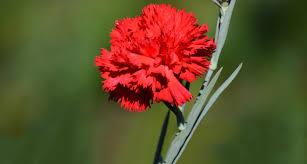 ohio state flower scarlet carnation proflowers blog