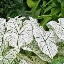 caladium white caladiums leafari