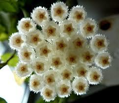 Fragrant Flowers 52 Best Fragrant All Stars Images On Pinterest Balcony Plants