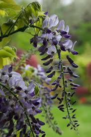 188 best flowering vines images on pinterest flowering vines