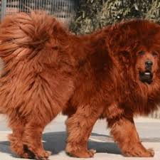 lion dogs dog and lion breed breed dogs picture