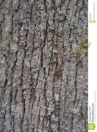 White Oak Tree Bark Tree Bark Of The Old And Big Oak Tree Texture Or Background Stock