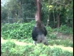 Funny Gorilla Memes - gorilla walks like a man funny video youtube