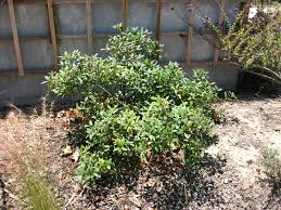 native plants at csu dominguez mother nature u0027s backyard a water wise garden plant of the month