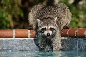 camera labs u2022 view topic my u0027pet u0027 raccoon in my backyard imgs