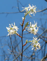 native plants for birds using georgia native plants serviceberry a tree for you and the