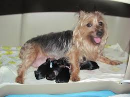 silky terrier with haircut home