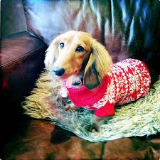 traditional christmas nordic knitted dog jumper dog jumpers dog