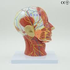 Right Side Human Anatomy Anatomical Model U2013 Thanksdoctor