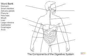 components of digestive system worksheet coloring page free